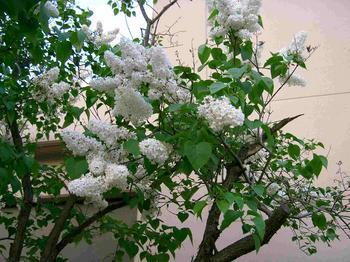 tea_room_lilac2.jpg